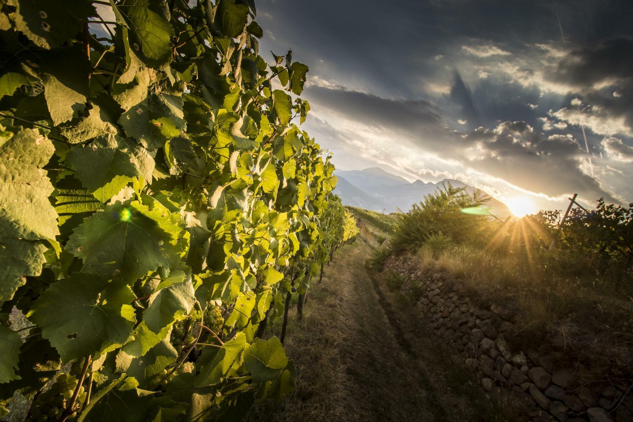 ferrari-trentodoc-vineyards